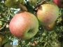 Pommes Belle fleur
