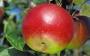 Pommes Reinette Hernaut